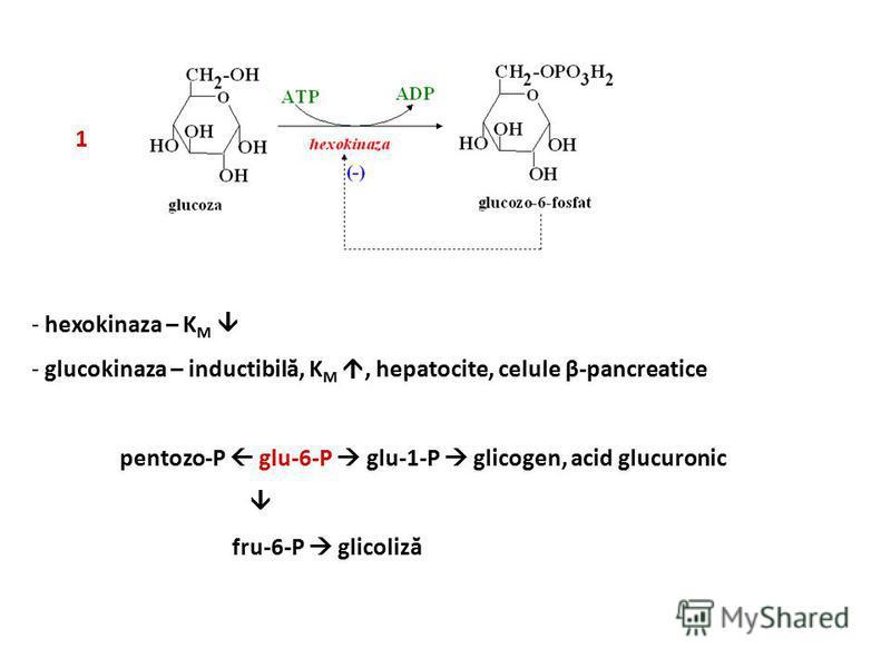 1 - hexokinaza – K M - glucokinaza – inductibilă, K M, hepatocite, celule β-pancreatice pentozo-P glu-6-P glu-1-P glicogen, acid glucuronic fru-6-P glicoliză