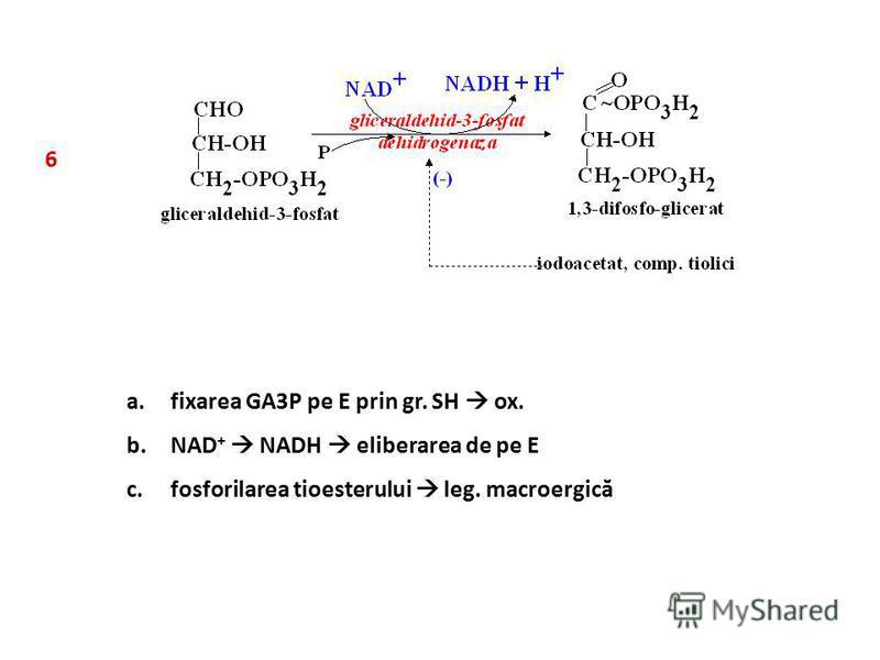 6 a.fixarea GA3P pe E prin gr. SH ox. b.NAD + NADH eliberarea de pe E c.fosforilarea tioesterului leg. macroergică