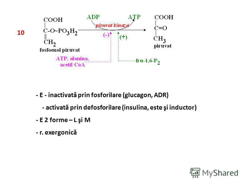 10 - E - inactivată prin fosforilare (glucagon, ADR) - activată prin defosforilare (insulina, este şi inductor) - E 2 forme – L şi M - r. exergonică