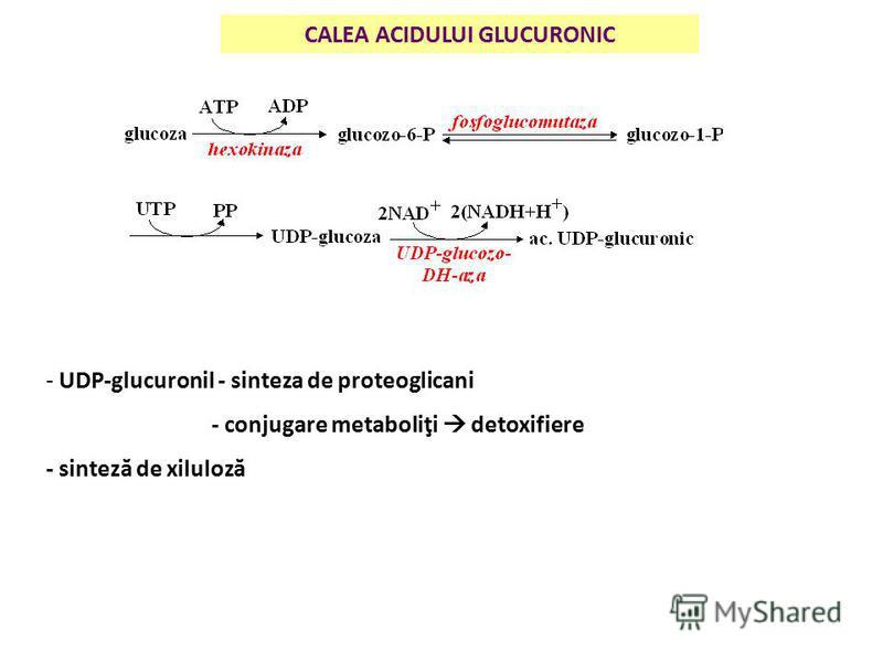 CALEA ACIDULUI GLUCURONIC - UDP-glucuronil - sinteza de proteoglicani - conjugare metaboliţi detoxifiere - sinteză de xiluloză