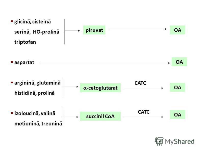 glicină, cisteină serină, HO-prolină triptofan aspartat arginină, glutamină histidină, prolină izoleucină, valină metionină, treonină piruvatOA α-cetoglutarat OA CATC succinil CoA CATC OA