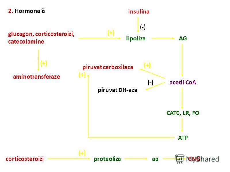 2. Hormonală glucagon, corticosteroizi, catecolamine (+) lipolizaAG acetil CoA (+) piruvat carboxilaza (-) piruvat DH-aza CATC, LR, FO ATP (+) corticosteroizi (+) proteolizaaaGNG (-) insulina (+) aminotransferaze