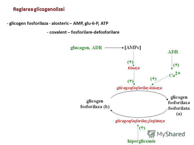 Reglarea glicogenolizei - glicogen fosforilaza - alosteric – AMP, glu-6-P, ATP - covalent – fosforilare-defosforilare
