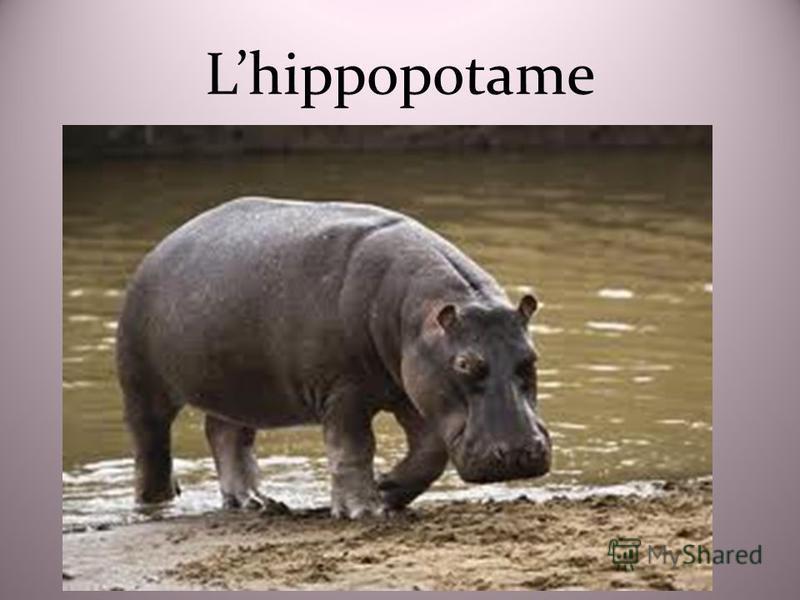 Lhippopotame