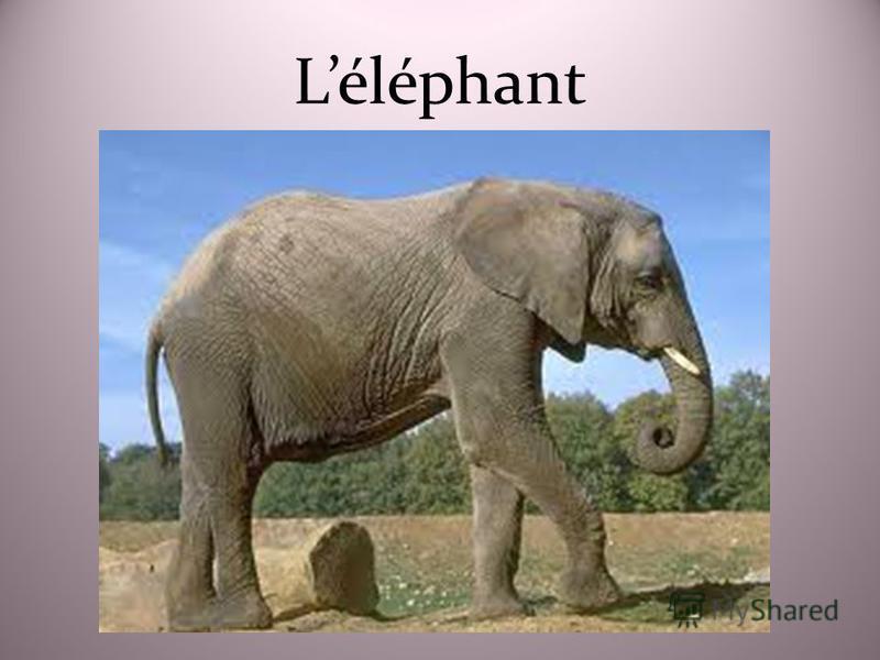Léléphant