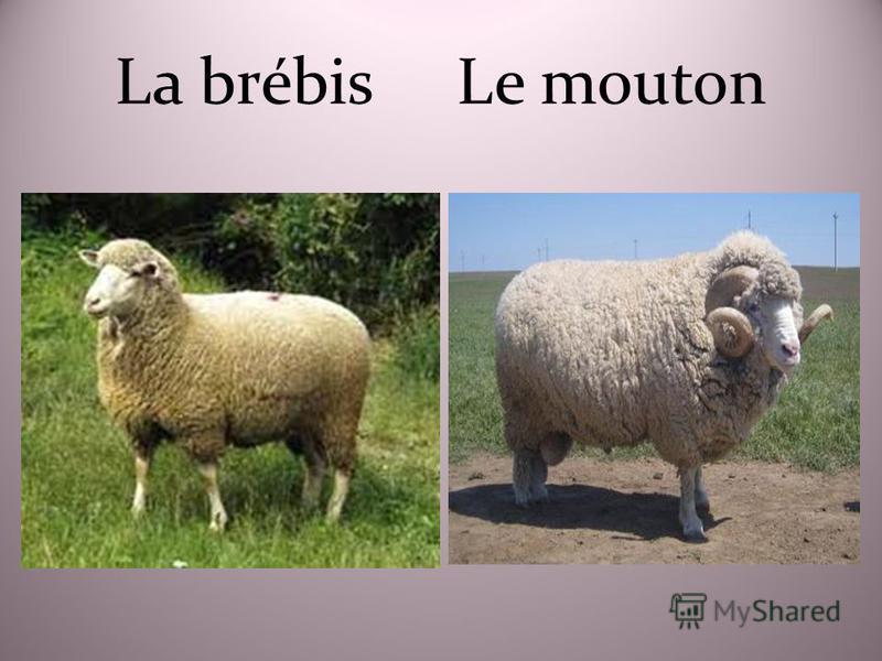 La brébis Le mouton
