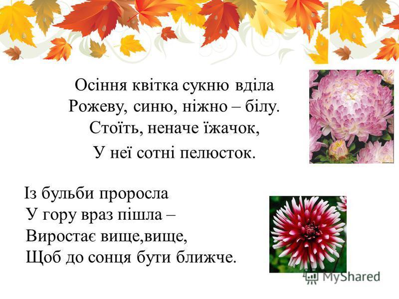 Осіння квітка сукню вділа Рожеву, синю, ніжно – білу. Стоїть, неначе їжачок, У неї сотні пелюсток. Із бульби проросла У гору враз пішла – Виростає вище,вище, Щоб до сонця бути ближче.