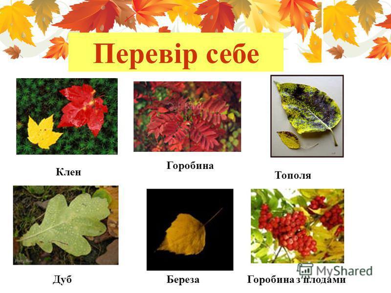 Перевір себе Клен Горобина Тополя ДубБерезаГоробина з плодами