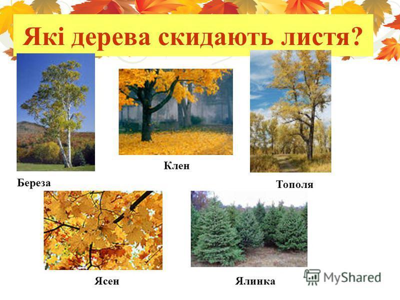 Які дерева скидають листя? Береза Клен Тополя ЯсенЯлинка