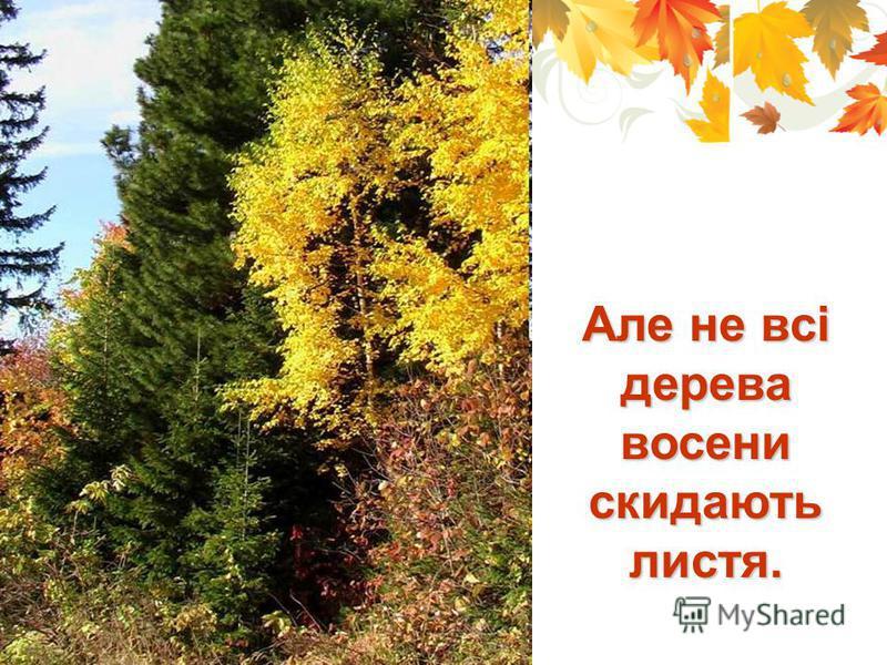 Але не всі дерева восени скидають листя.