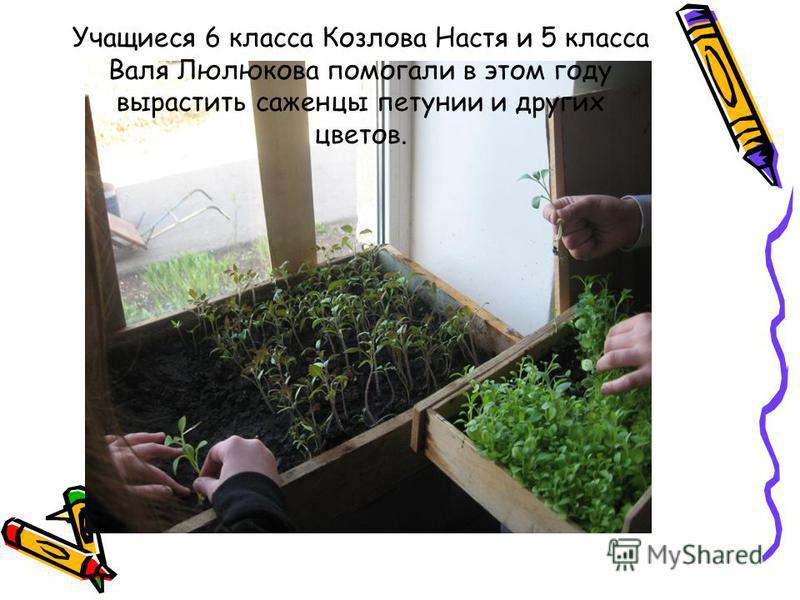 Учащиеся 6 класса Козлова Настя и 5 класса Валя Люлюкова помогали в этом году вырастить саженцы петунии и других цветов.