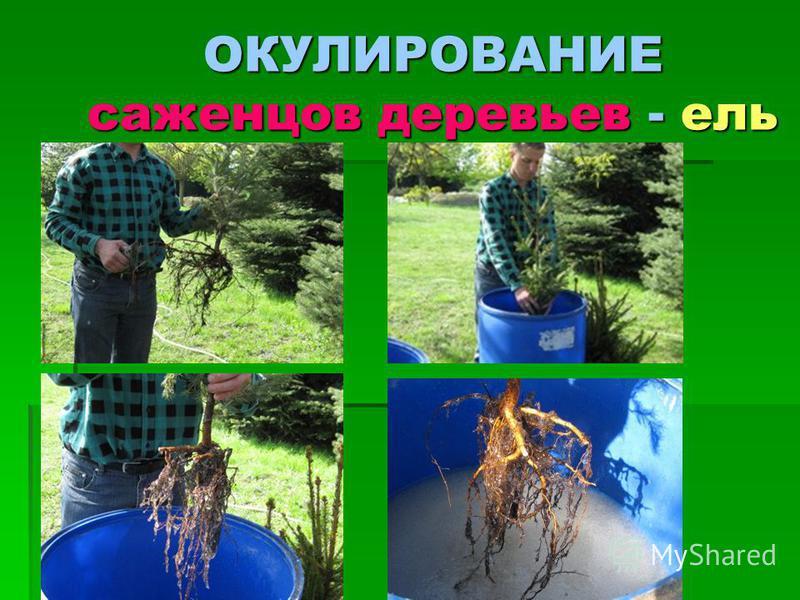 ОКУЛИРОВАНИЕ саженцев деревьев - ель