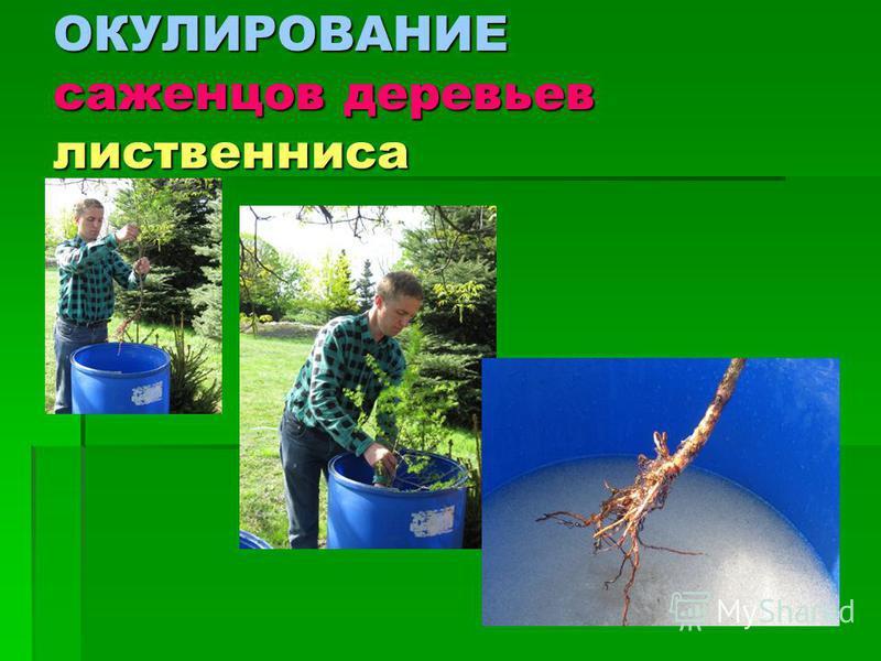 ОКУЛИРОВАНИЕ саженцев деревьев лиственница