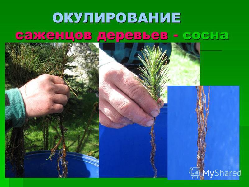 ОКУЛИРОВАНИЕ саженцев деревьев - сосна ОКУЛИРОВАНИЕ саженцев деревьев - сосна