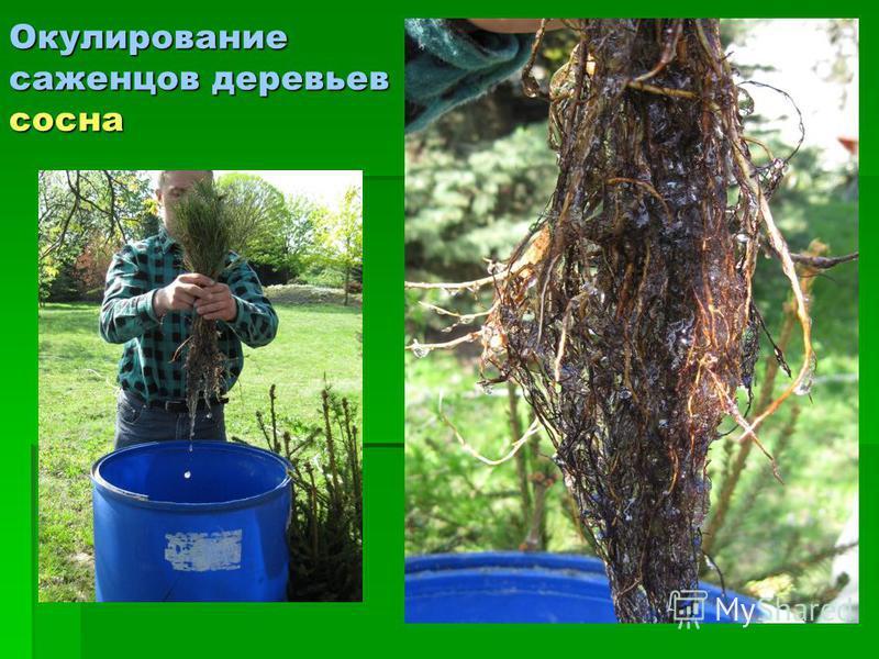 Окулирование саженцев деревьев сосна