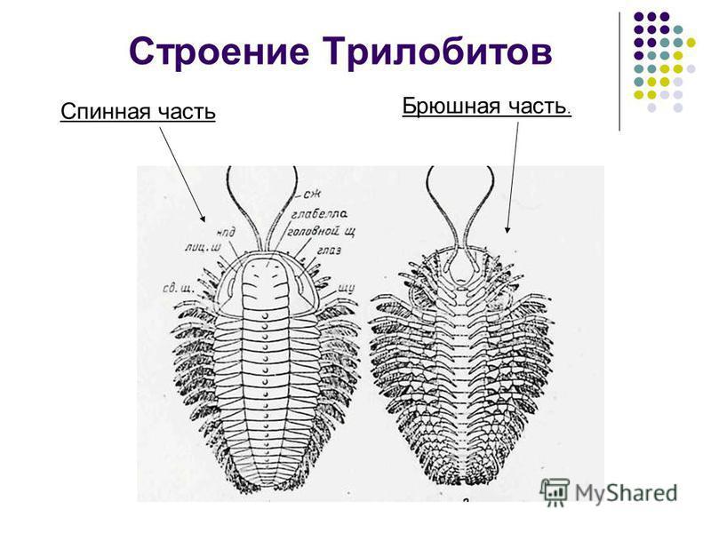 План. Общее представление класса. Образ жизни. Описание рода Asaphus. Вымирание трилобитов. Условия нахождения трилобитов в ископаемом состоянии. Вывод.