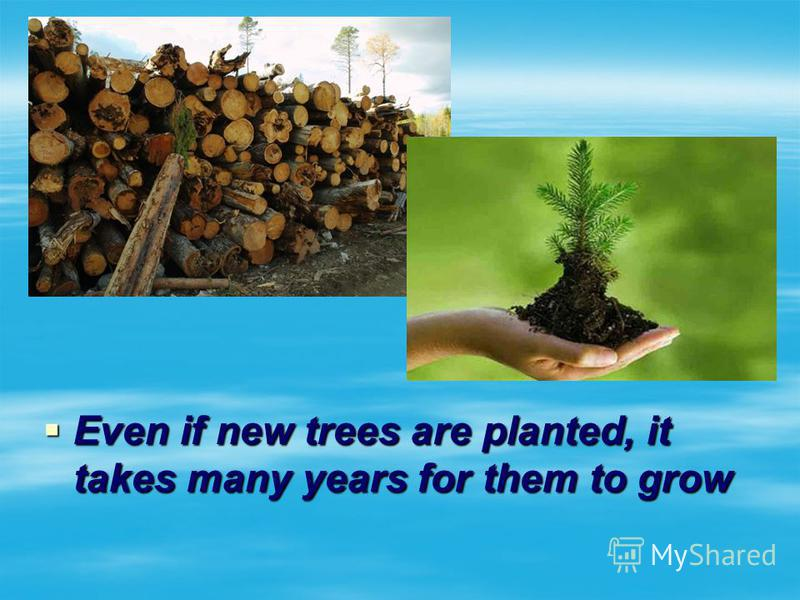 Even if new trees are planted, it takes many years for them to grow Even if new trees are planted, it takes many years for them to grow