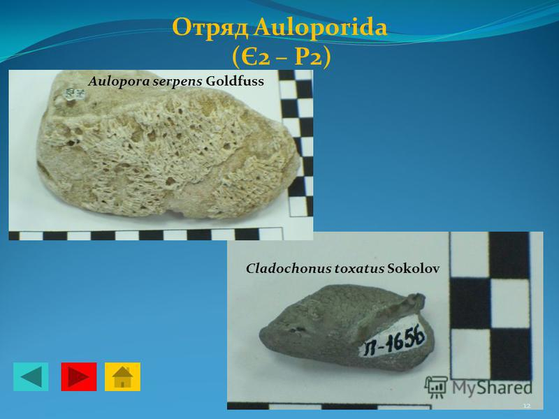 Отряд Auloporida (Є2 – Р2) Aulopora serpens Gоldfuss Cladochonus toxatus Sokolov 12