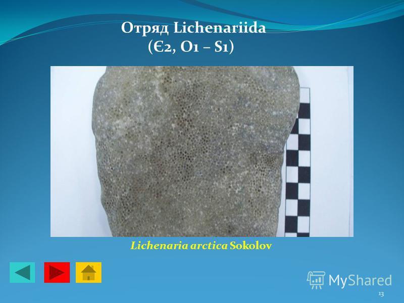 Отряд Lichenariida (Є2, О1 – S1) Lichenaria arctica Sokolov 13