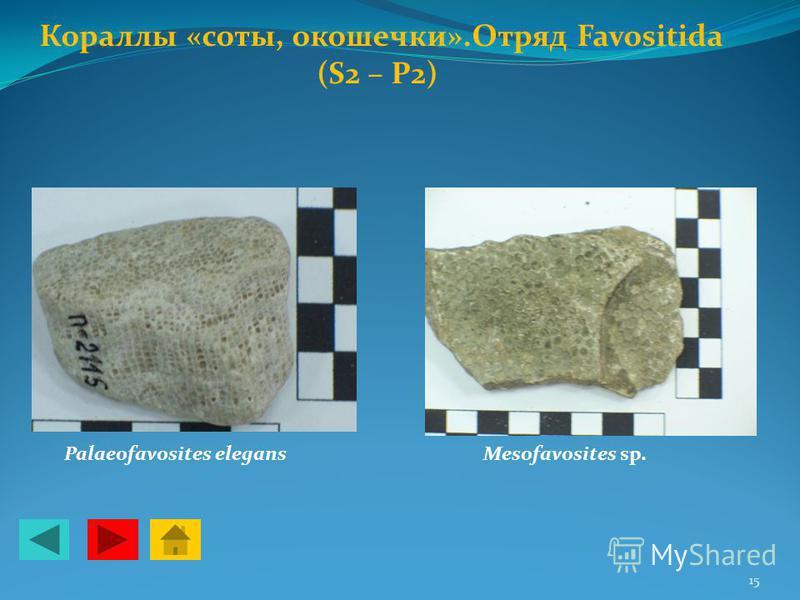 Кораллы «соты, окошечки».Отряд Favositida (S2 – P2) Palaeofavosites elegansMesofavosites sp. 15