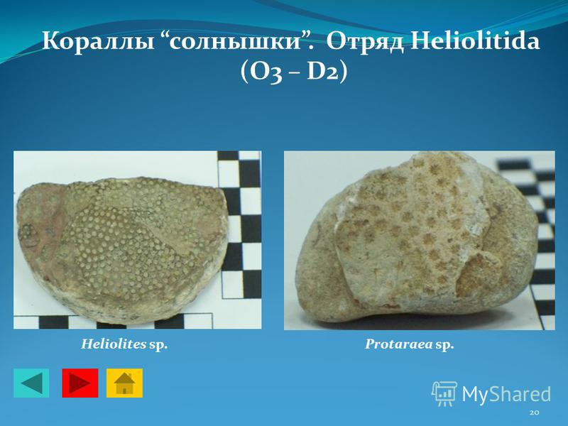Кораллы солнышки. Отряд Heliolitida (O3 – D2) Рrоtаrаеа sp.Heliolites sp. 20