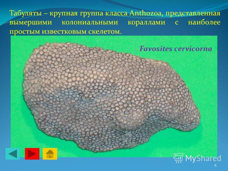 Табуляты – крупная группа класса Anthozoa, представленная вымершими колониальными кораллами с наиболее простым известковым скелетом. Favosites cervicorna 6