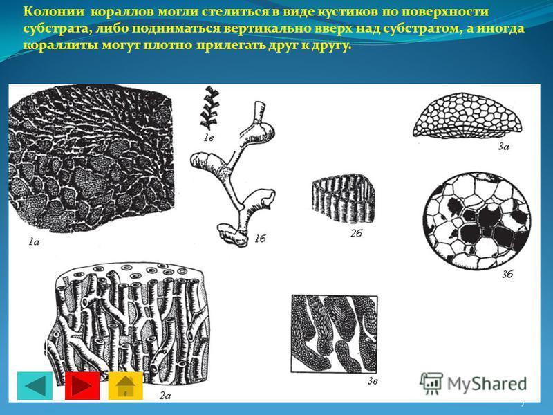 Колонии кораллов могли стелиться в виде кустиков по поверхности субстрата, либо подниматься вертикально вверх над субстратом, а иногда кораллиты могут плотно прилегать друг к другу. 7