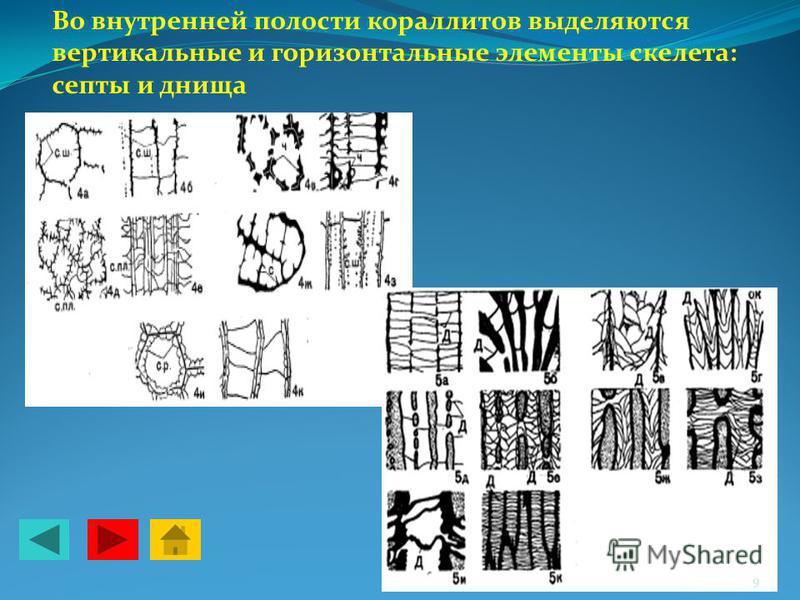 Во внутренней полости кораллитов выделяются вертикальные и горизонтальные элементы скелета: септы и днища 9