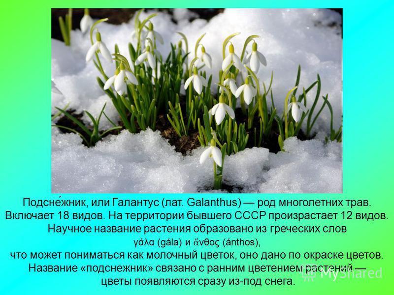 Подсне́жник, или Галантус (лат. Galanthus) род многолетних трав. Включает 18 видов. На территории бывшего СССР произрастает 12 видов. Научное название растения образовано из греческих слов γάλα (gála) и νθος (ánthos), что может пониматься как молочны