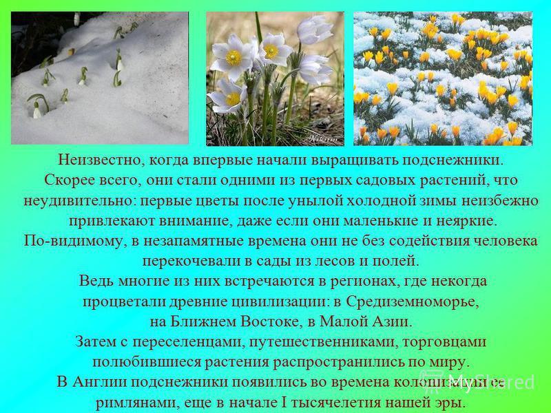 Неизвестно, когда впервые начали выращивать подснежники. Скорее всего, они стали одними из первых садовых растений, что неудивительно: первые цветы после унылой холодной зимы неизбежно привлекают внимание, даже если они маленькие и неяркие. По-видимо