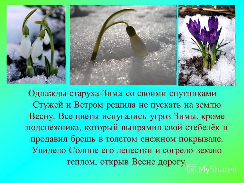 Однажды старуха-Зима со своими спутниками Стужей и Ветром решила не пускать на землю Весну. Все цветы испугались угроз Зимы, кроме подснежника, который выпрямил свой стебелёк и продавил брешь в толстом снежном покрывале. Увидело Солнце его лепестки и