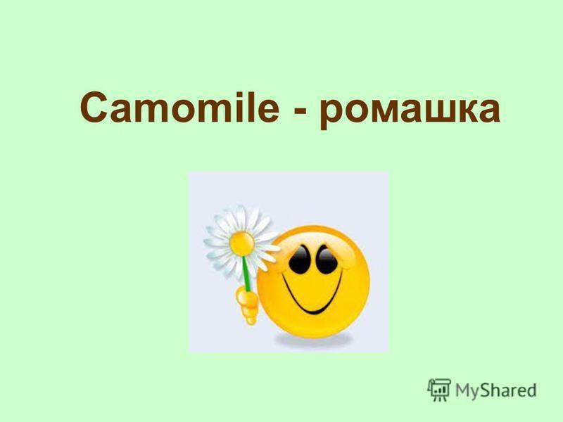 Camomile - ромашка