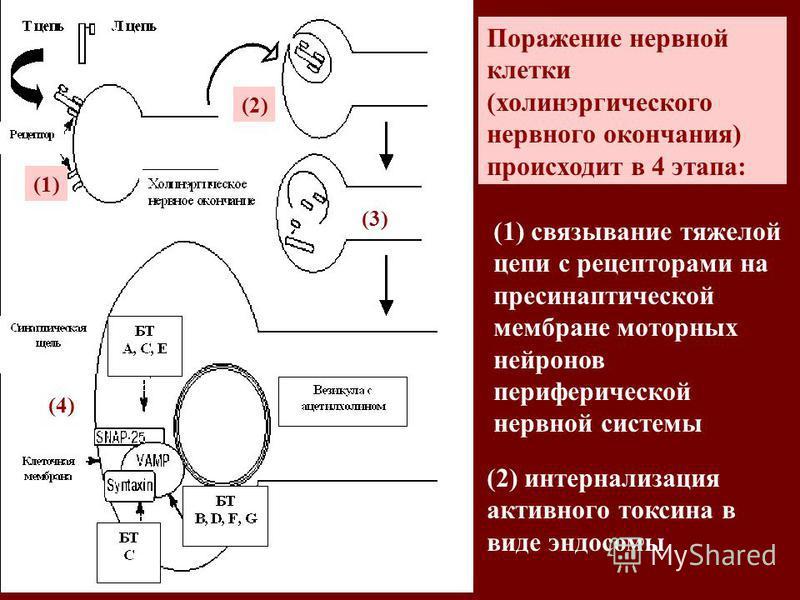 (1) (2) (3) (4) Поражение нервной клетки (холинэргического нервного окончания) происходит в 4 этапа: (1) связывание тяжелой цепи с рецепторами на пресинаптической мембране моторных нейронов периферической нервной системы (2) интернализация активного