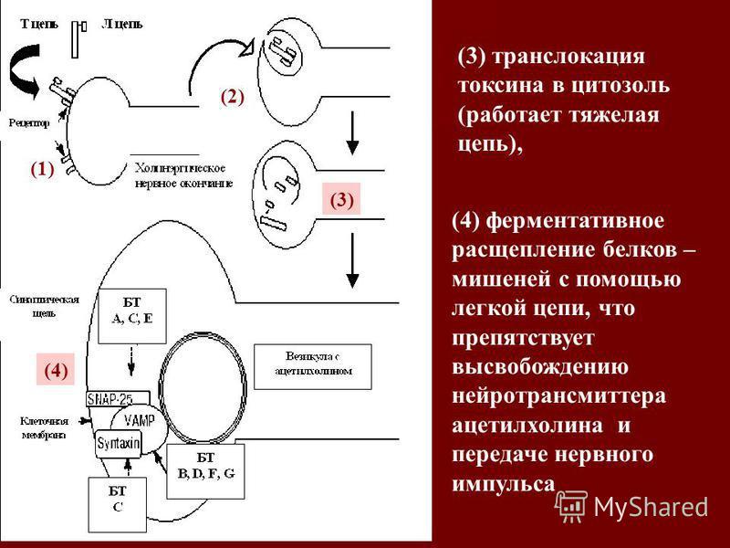 (3) транслокация токсина в цитозоль (работает тяжелая цепь), (4) ферментативное расщепление белков – мишеней с помощью легкой цепи, что препятствует высвобождению нейротрансмиттера ацетилхолина и передаче нервного импульса (3) (4) (1) (2)
