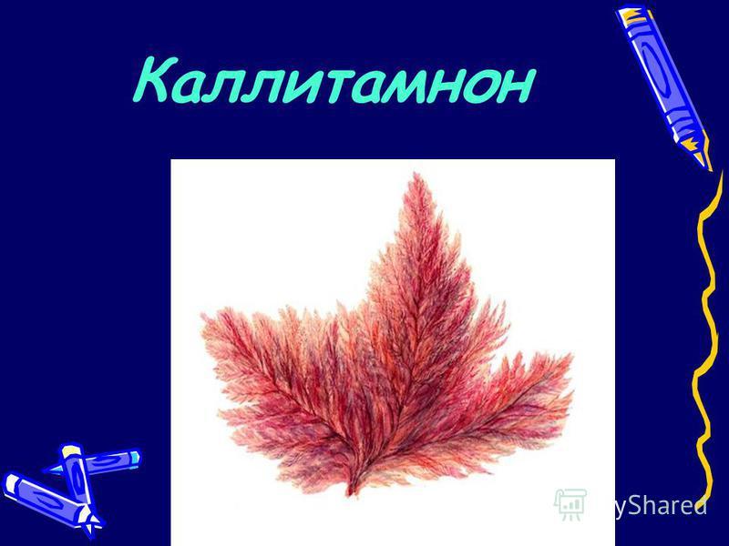 Каллитамнон