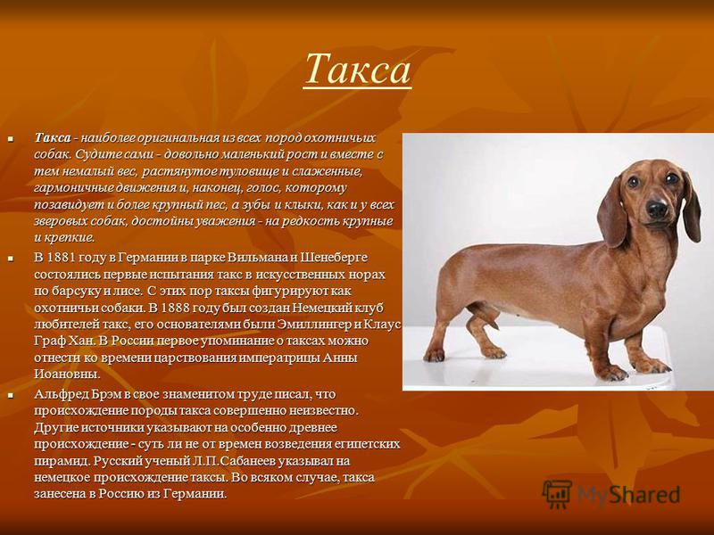 Такса Такса - наиболее оригинальная из всех пород охотничьих собак. Судите сами - довольно маленький рост и вместе с тем немалый вес, растянутое туловище и слаженные, гармоничные движения и, наконец, голос, которому позавидует и более крупный пес, а
