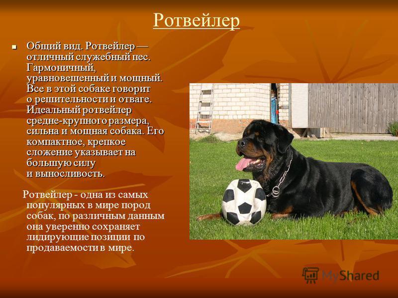 Ротвейлер Общий вид. Ротвейлер отличный служебный пес. Гармоничный, уравновешенный и мощный. Все в этой собаке говорит о решительности и отваге. Идеальный ротвейлер средне-крупного размера, сильна и мощная собака. Его компактное, крепкое сложение ука