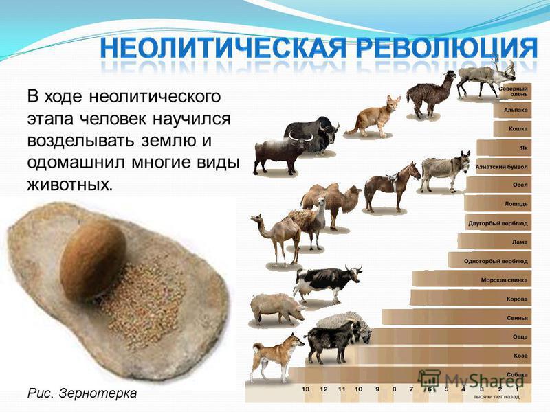 В ходе неолитического этапа человек научился возделывать землю и одомашнил многие виды животных. Рис. Зернотерка