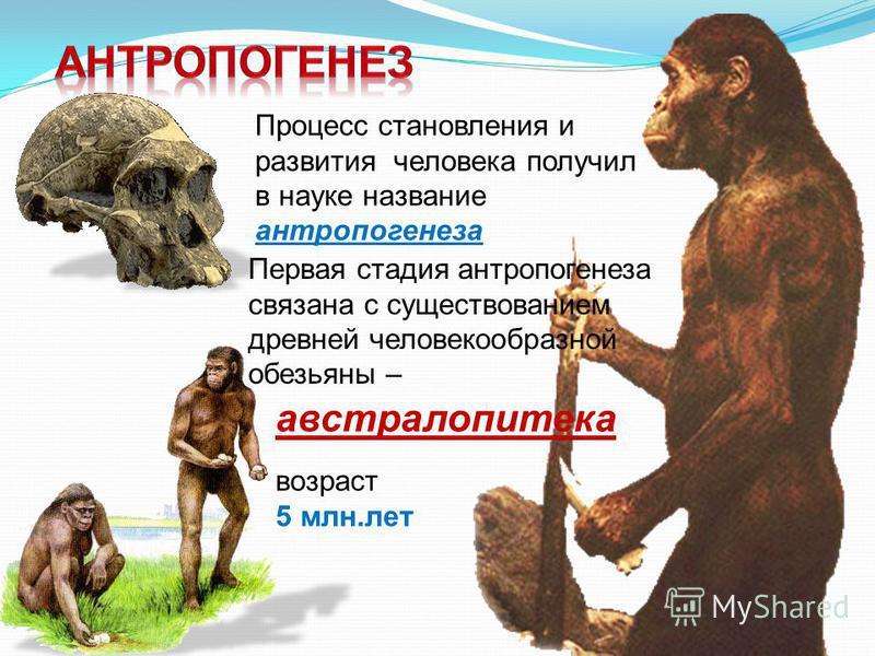 Процесс становления и развития человека получил в науке название антропогенеза Первая стадия антропогенеза связана с существованием древней человекообразной обезьяны – австралопитека возраст 5 млн.лет