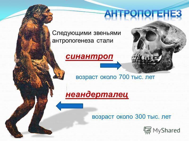 Следующими звеньями антропогенеза стали синантроп неандерталец возраст около 700 тыс. лет возраст около 300 тыс. лет