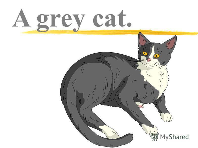 A grey cat.