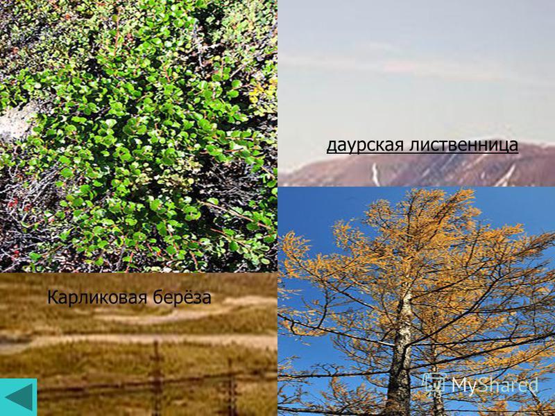 Карликовая берёза даурская лиственница