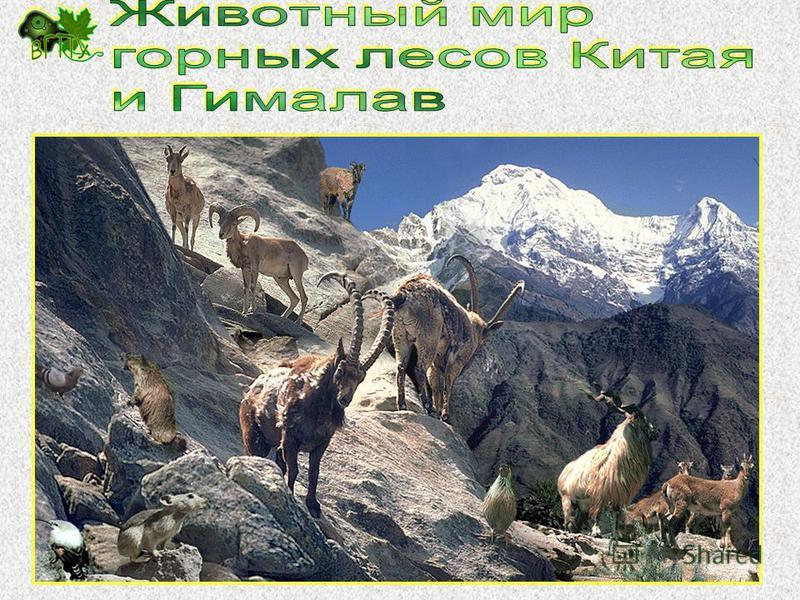 В горах: Козлы, бараны Восточный Наньшань – куку-яман, медведь, кабарга, волк, барсук, лисица, куропатки, фазаны, грифы, орлы, соколы Западный Наньшань и Алтынтаг – Антилопы – ада, оронго Грызуны - пищухи, сурки, полёвки