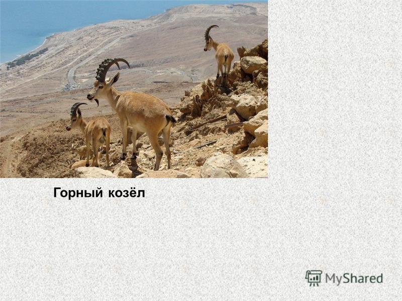 Характерной особенностью горного козла (Capra ibex) являются большие и массивные рога, загибающиеся назад широким полукругом: у самцов длиной 100-150 см, с высокими буграми в виде поперечных валиков. Рога у самок небольшие, до 40 см. Окраска серовато
