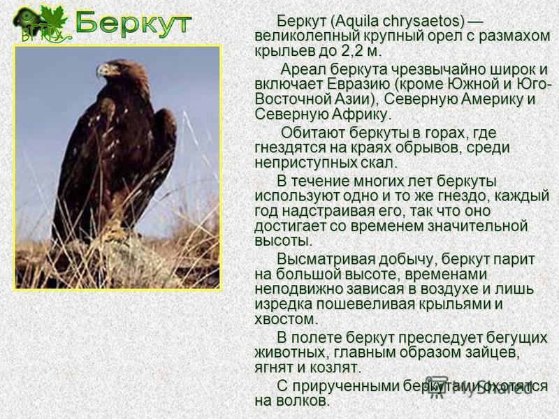 Бородач, или ягнятник (Gypaetus barbatus) относится к грифам, однако в отличие от других представителей семейства его голова и шея оперенные. Бородач огромная птица: общая длина его тела около 1 м, длинных и острых крыльев 75-80 см в длину, а вес мож