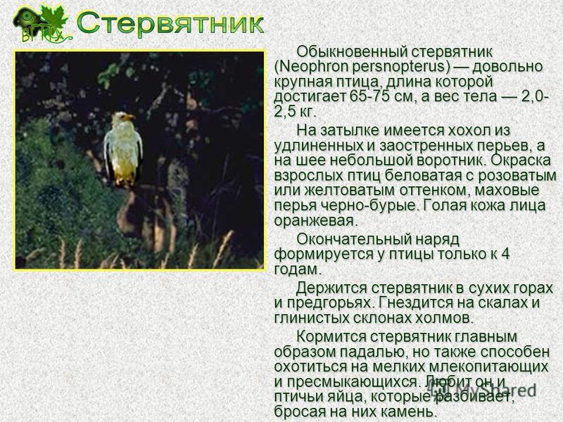 Беркут (Aquila chrysaetos) великолепный крупный орел с размахом крыльев до 2,2 м. Ареал беркута чрезвычайно широк и включает Евразию (кроме Южной и Юго- Восточной Азии), Северную Америку и Северную Африку. Ареал беркута чрезвычайно широк и включает Е