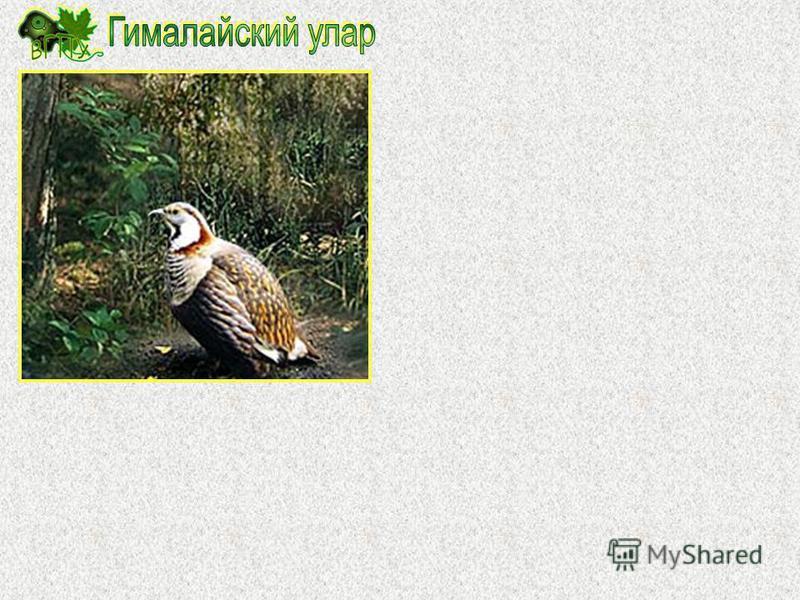Обыкновенный стервятник (Neophron persnopterus) довольно крупная птица, длина которой достигает 65-75 см, а вес тела 2,0- 2,5 кг. На затылке имеется хохол из удлиненных и заостренных перьев, а на шее небольшой воротник. Окраска взрослых птиц беловата