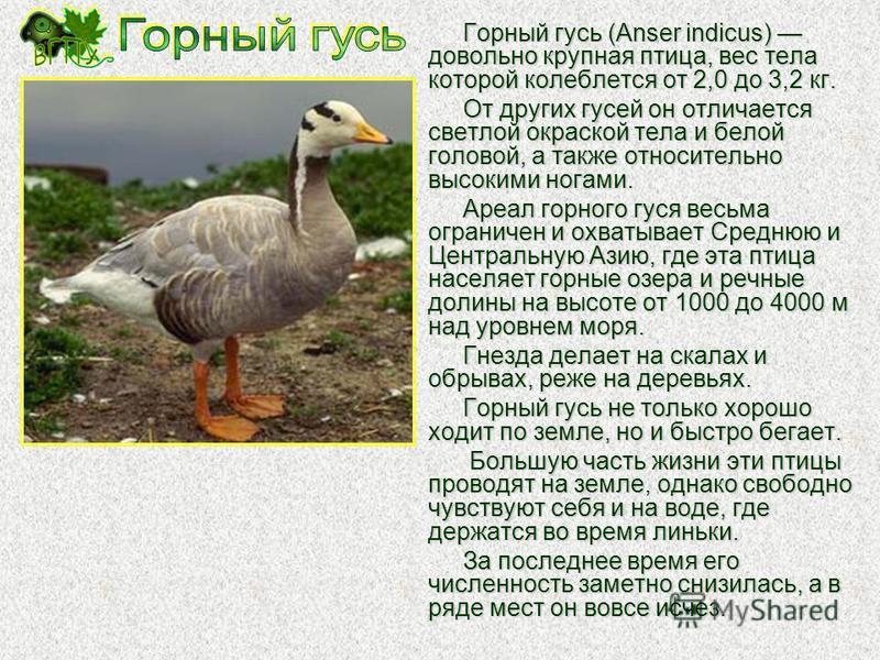 Гималайский улар (Tetraogallus himalayensis) довольно крупная (до 3 кг) птица из отряда куриных. Это очень осторожная птица, защитная окраска которой надежно скрывает его от любопытных глаз. Улары типичные обитатели высокогорий, для которых характерн