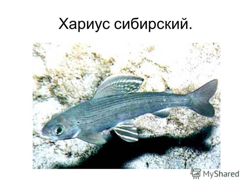 Хариус сибирский.