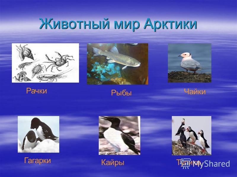 Животный мир Арктики Рачки Рыбы Чайки Тупики Кайры Гагарки